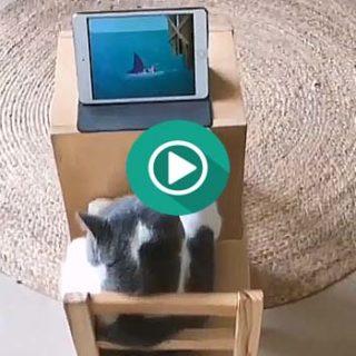 Este gato esta disfrutando de su serie favorita de dibujos animados.