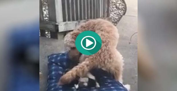 perro contra gato cama 620x320 - Este perro intenta por todos los medios echar al gato de su cama...
