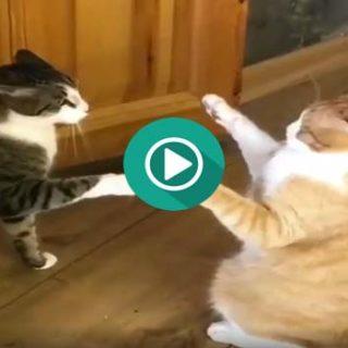 Este gato sabe hacer el toque de la muerte de Bruce Lee.