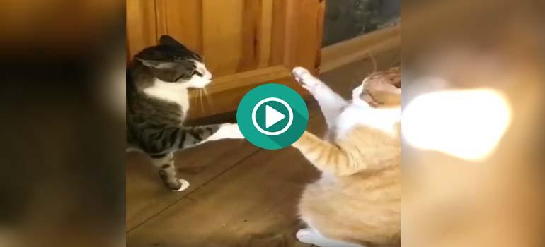 Este gato sabe hacer el toque de la muerte de Bruce Lee. 1