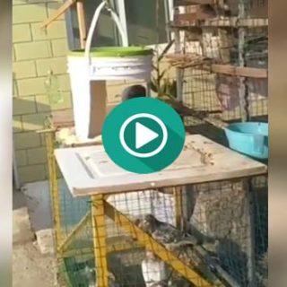 Ingeniosa trampa para capturar palomas.
