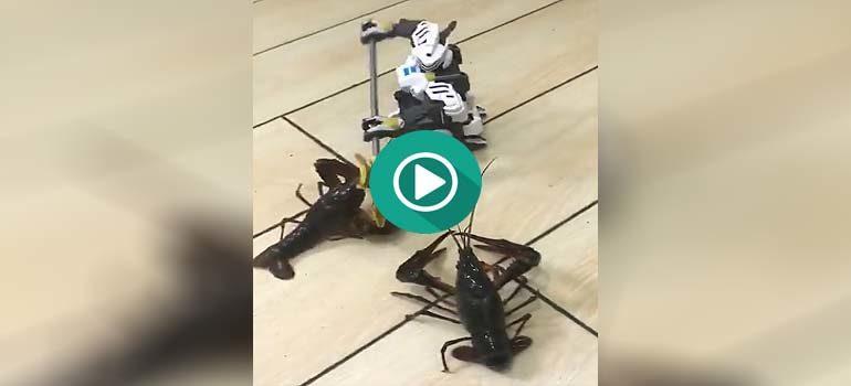 Combate a muerte entre dos langostas y un robot. 6