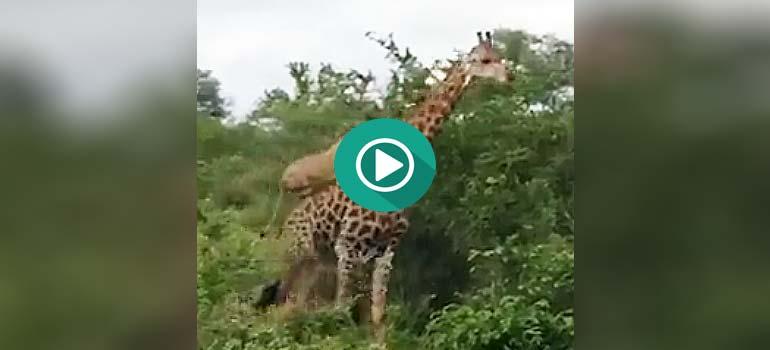 Un León subido a lomos de una Jirafa, el vídeo completo.