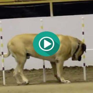 Un perezoso Mastín, participa en un circuito de habilidad para perros.