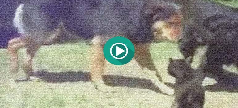 Increíble, unos perros separan a dos gatos que se están peleando. 3