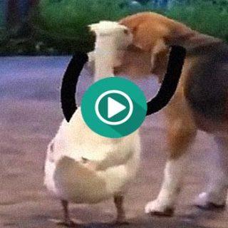 Este perro y este ganso son amigos inseparables.