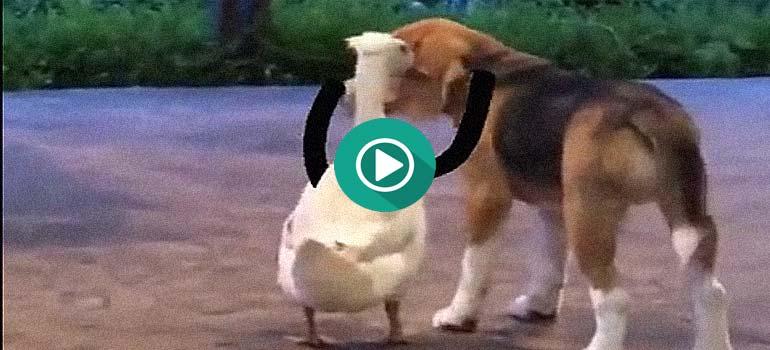 Este perro y este ganso son amigos inseparables. 1