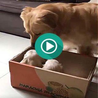 Llegan nuevos cachorros a casa y hay que dejar claro quien manda.