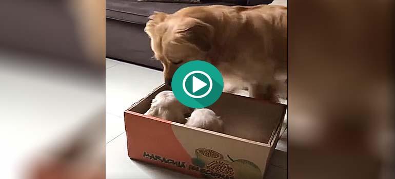 Llegan nuevos cachorros a casa y hay que dejar claro quien manda. 1