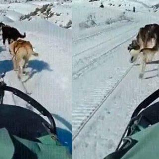 ¿Cómo hacen caca los perros que tiran de un trineo?