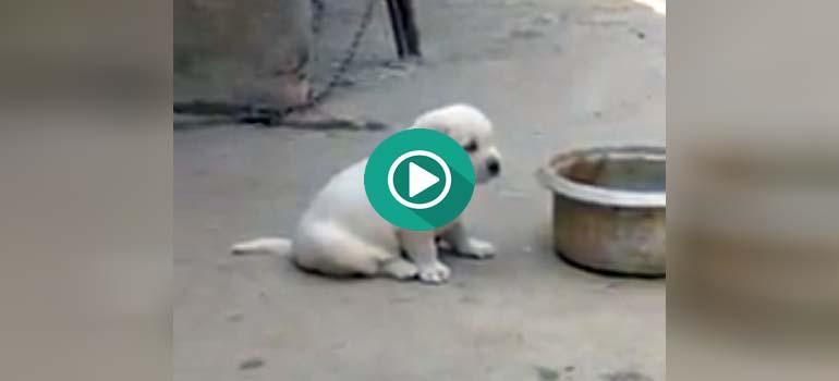Cachorro de perro piensa que es un gallo. 1