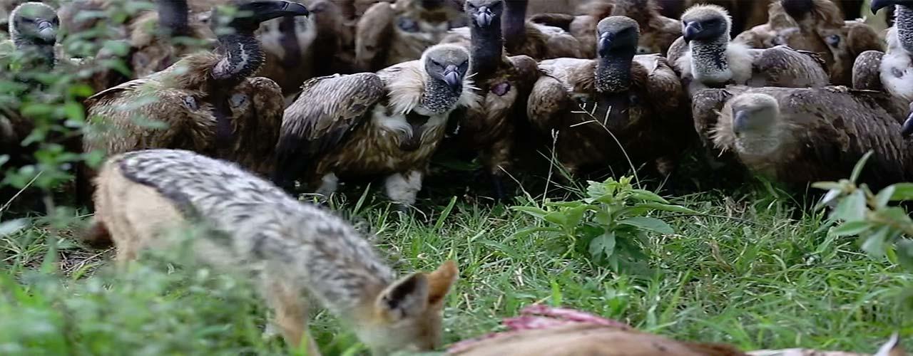 Espectacular vídeo de unos buitres esperando su turno para lanzarse a comer los restos de un impala.
