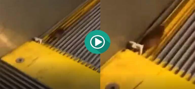 Una cucaracha corre por su vida en unas escaleras mecánicas. 4