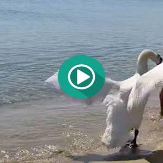 El Cisne no quiere fotos y ataca a la pobre abuela.