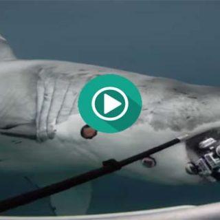 Un gran tiburón se come una cámara de 360º