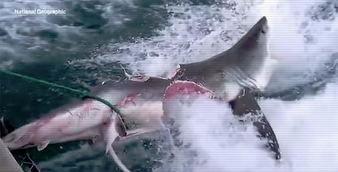 Brutal pelea entre dos tiburones deja a un tiburón blanco mutilado. 1
