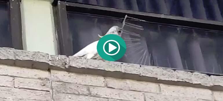 Una Cacatúa arranca todas las púas anti pájaros de un edificio. 1