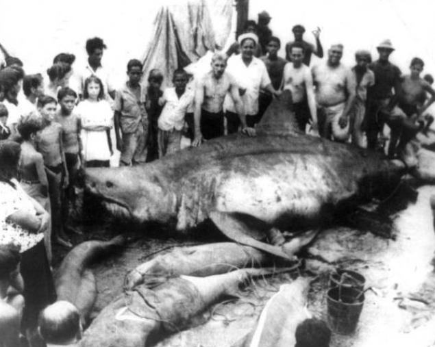 Nadando junto al Tiburón Blanco mas grande del mundo. 4
