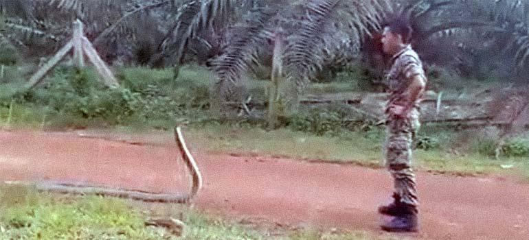 Militar del ejército de Malasia, capturando a una Cobra.
