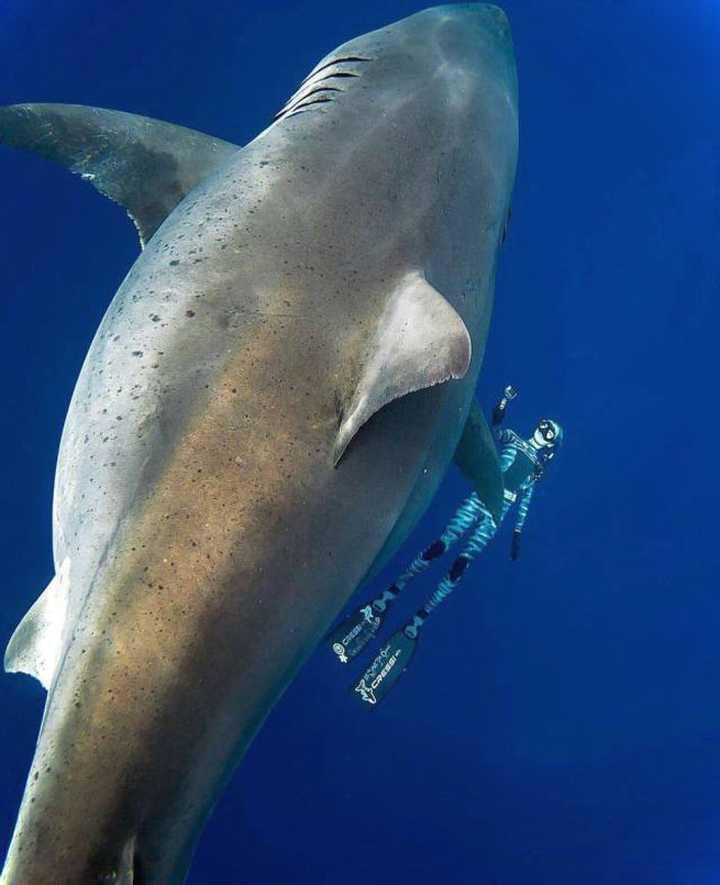 Nadando junto al Tiburón Blanco mas grande del mundo. 3