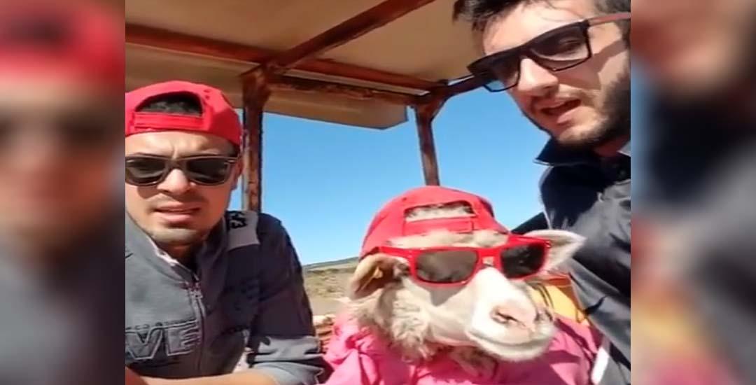 El vídeo de la cabra que habla Italiano.