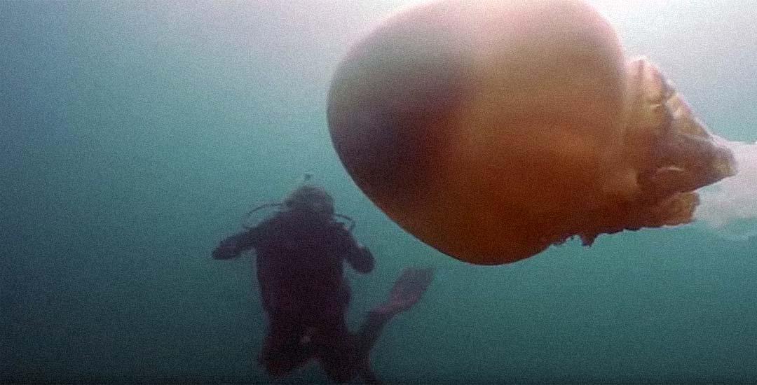 Medusa Gigante vista en las costas Inglesas. 2