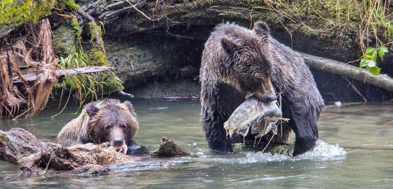 Un pescador da de comer con la mano a unos osos salvajes. 1
