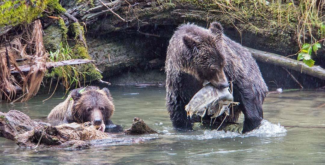 Un pescador da de comer con la mano a unos osos salvajes.