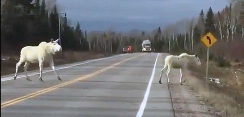 Se le cruzan dos Alces blancos por la carretera. 1