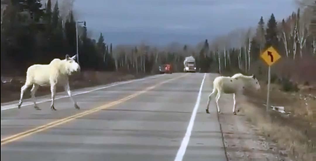 Se le cruzan dos Alces blancos por la carretera.