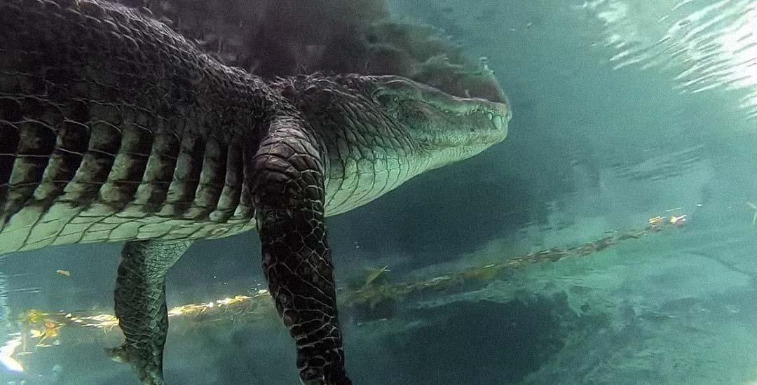 Buceando por debajo de un gran cocodrilo.