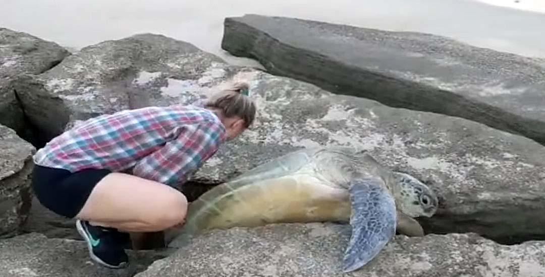 Salvando a una tortuga verde que estaba atrapada entre las rocas. 3