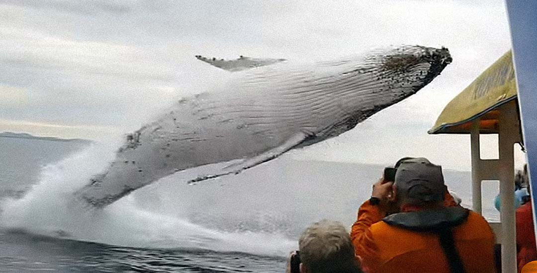 Una ballena jorobada, sorprende a los turistas con un espectacular salto. 1