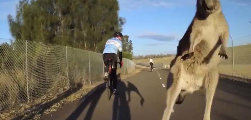 Canguros atacan a los ciclistas en este vídeo 1