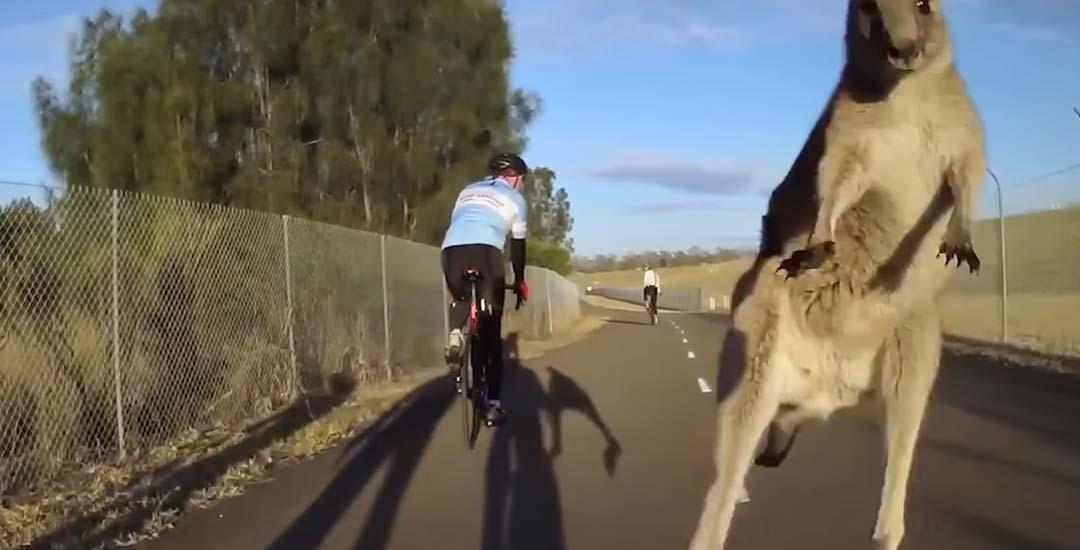 Canguros atacan a los ciclistas en este vídeo