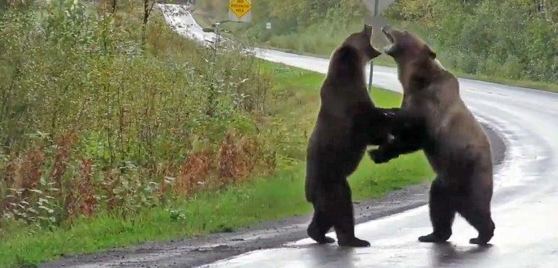 Dos Osos son grabados peleando y parecen dos hombres pegándose. 1