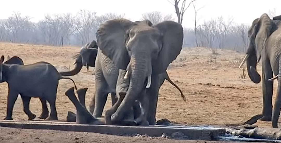 Una Elefanta rescata a una cría atrapada. Vídeo. 5