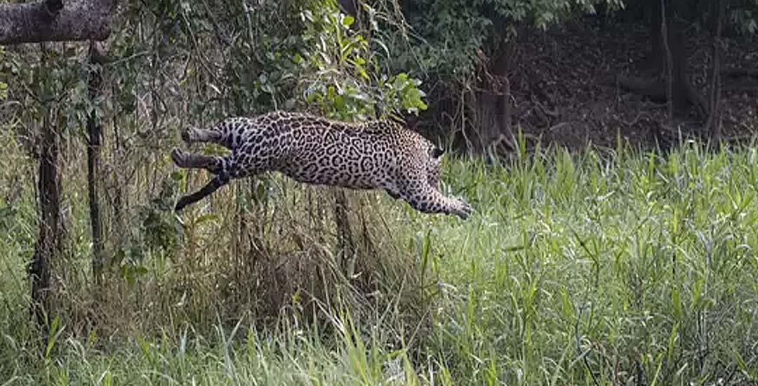 El increíble momento en el que un Jaguar ataca a un Cocodrilo. Vídeo.