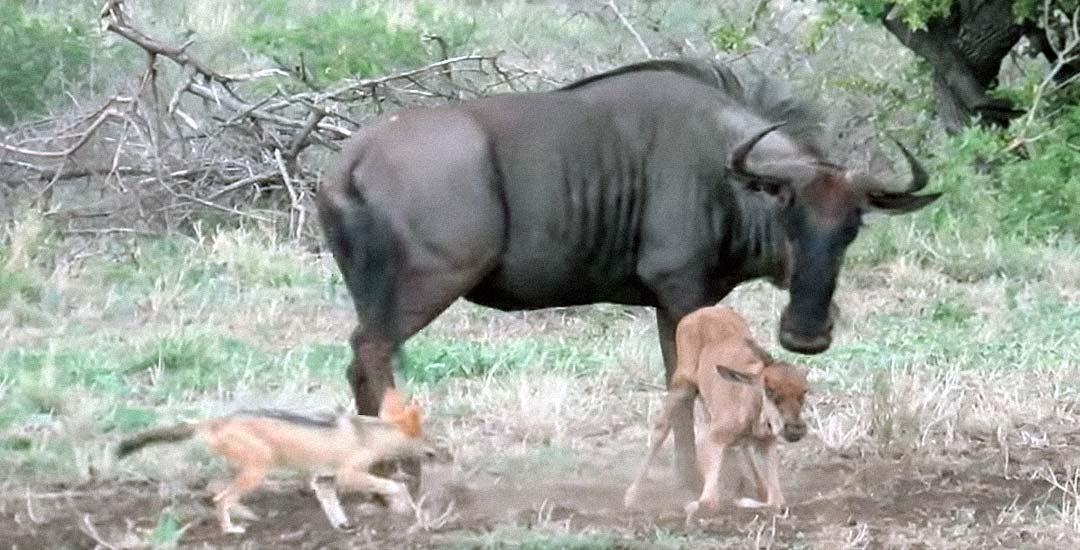 La madre Ñu protege a su recién nacido de varios chacales hambrientos. 21
