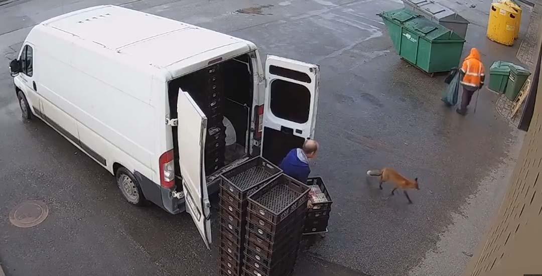 Un zorro roba a un panadero mientras descarga.