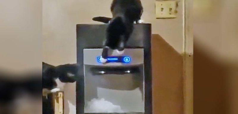 Estos gatos han descubierto como funciona la maquina de hielo 1