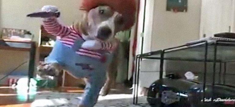 Disfraz de Chucky para perro [vídeo] 4
