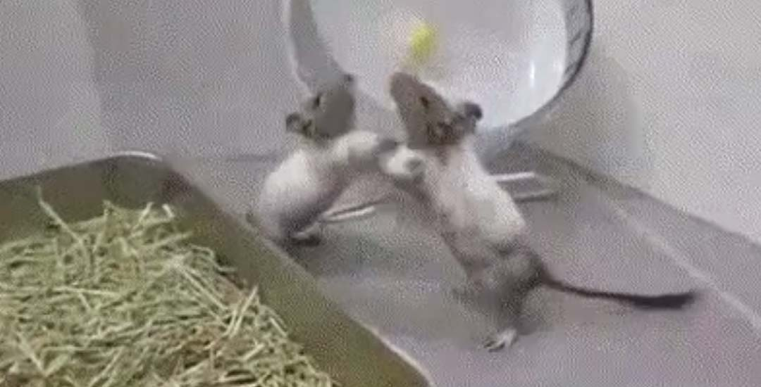 Ratón da una patada voladora de Kung Fu 19