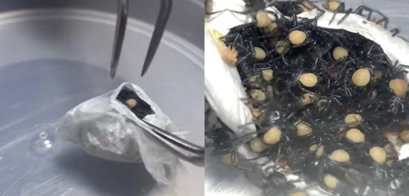Abriendo un saco lleno de arañas venenosas 1