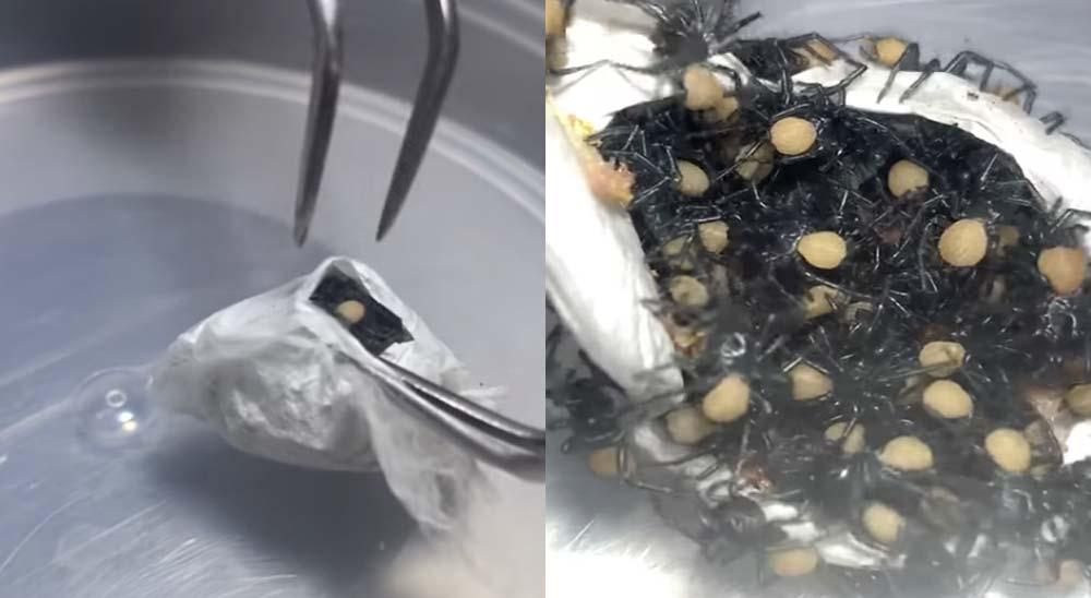 Abriendo un saco lleno de arañas venenosas 7