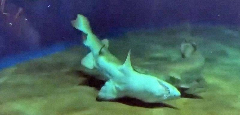 Tiburón salva la vida de su amigo dándole la vuelta 1