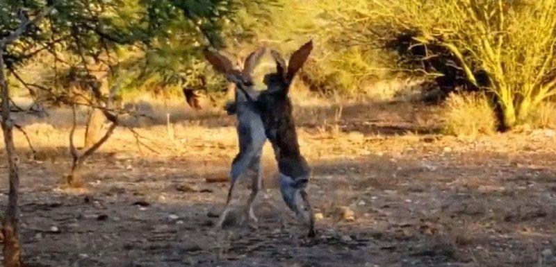 Dos conejos peleando como si fueran boxeadores 1