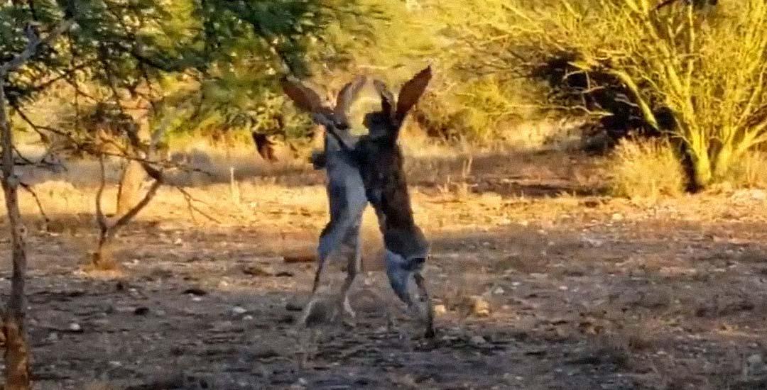 Dos conejos peleando como si fueran boxeadores 2