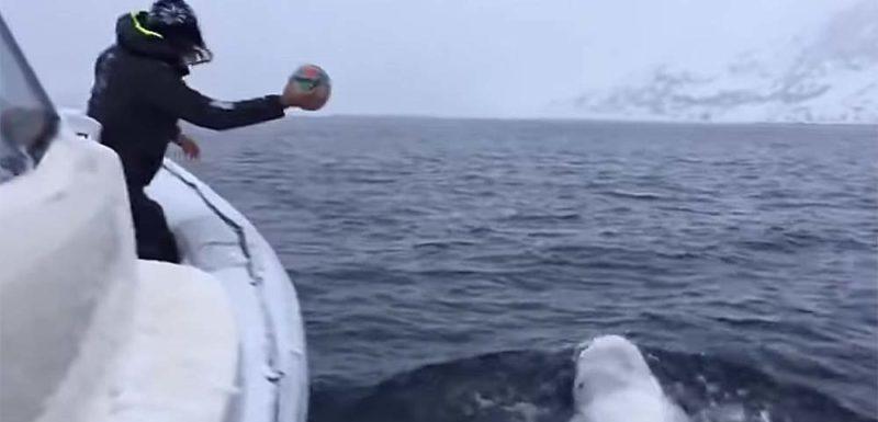 Esta ballena beluga juega a la pelota con los marineros de un barco 1