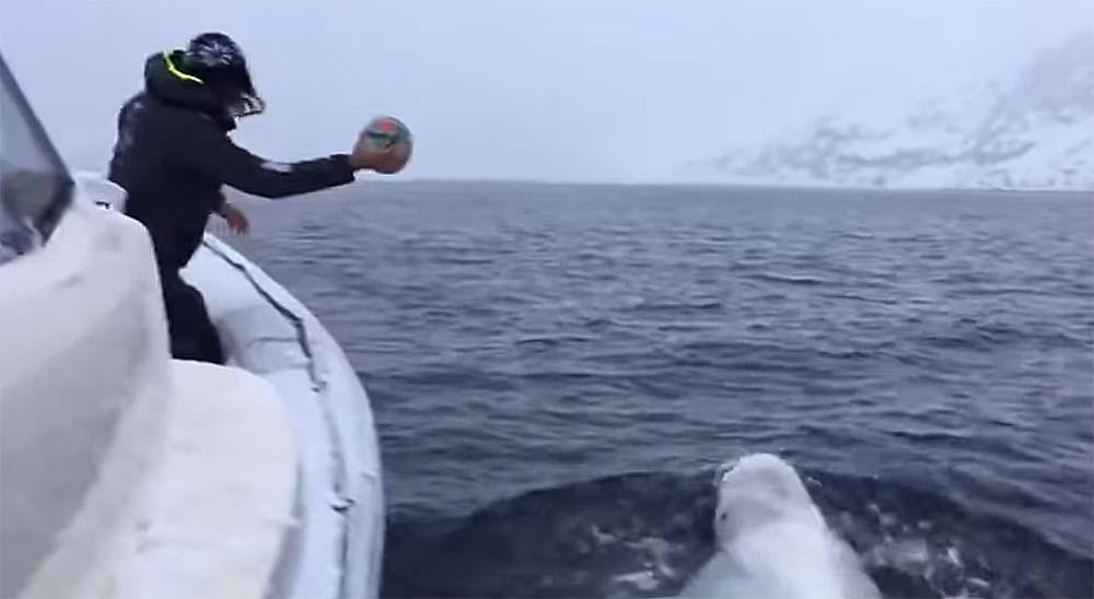 Esta ballena beluga juega a la pelota con los marineros de un barco 7